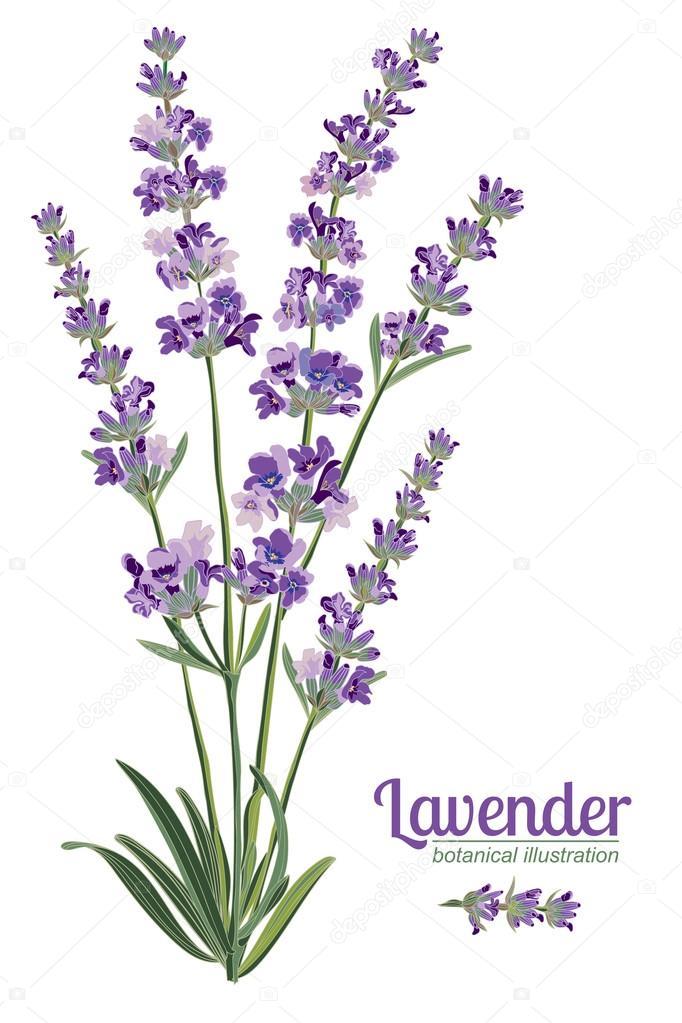 elementos de flores de lavanda ilustraci243n bot225nica