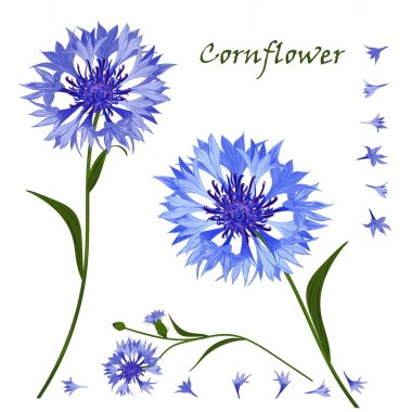 Hand-drawn bouquet of beautiful blue cornflower, isolated pattern