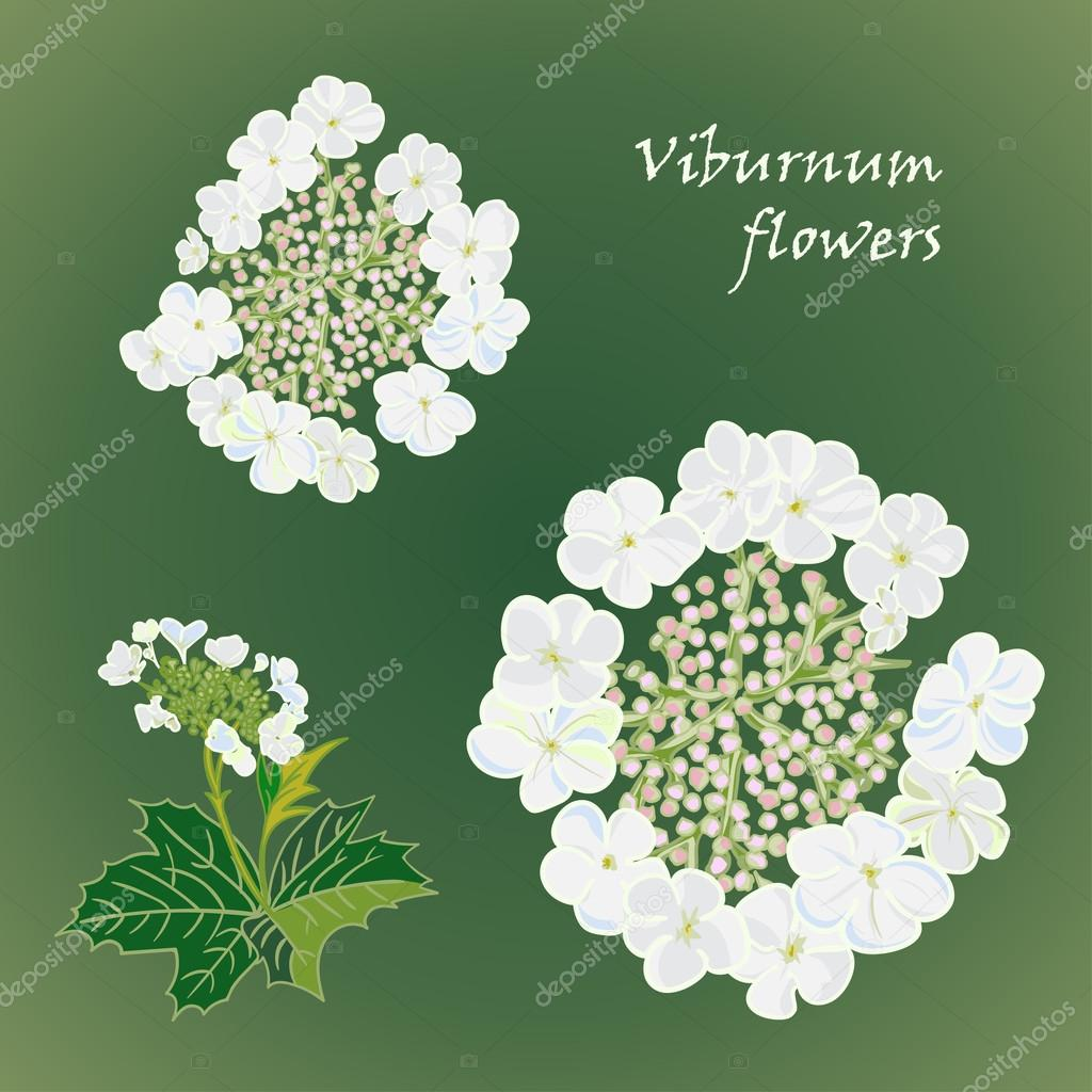 Set of flowers viburnum with leafs in realistic hand-drawn style