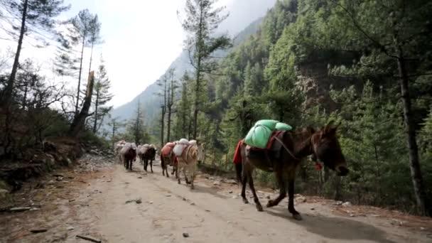 Caravan of donkeys carry supplies