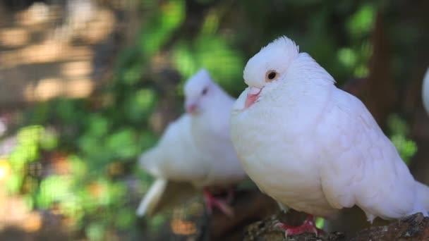 White doves in the zoo