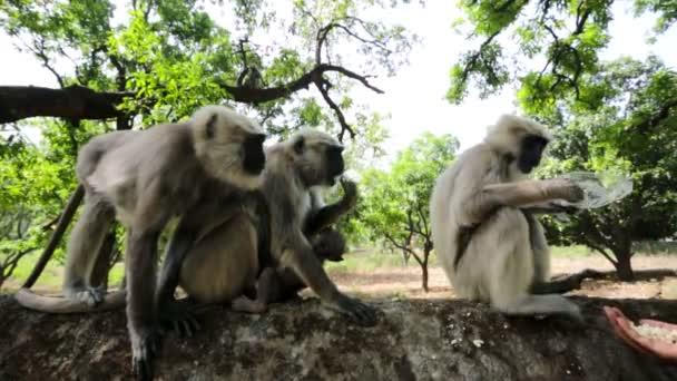 Black faced monkeys eats popcorn