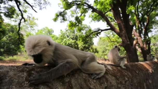 Černou tváří opice občerstvení popcorn