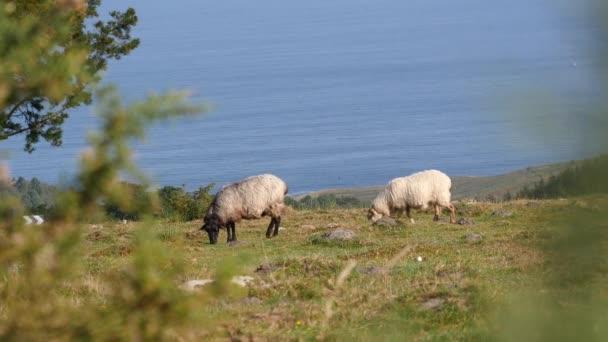 Ovce ve španělském Baskicku v blízkosti Atlantského oceánu