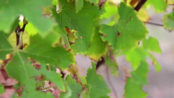 Krajina, Bordeaux vinice v podzimní, sladké víno