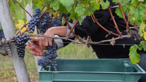 Ženy sklizeň hroznů Bordeaux vinice
