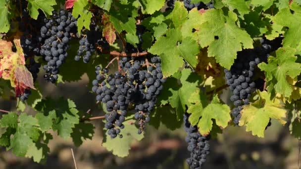 Nők, szőlő betakarítása