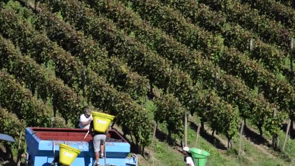 Hroznů výběr sklizeň hroznů v Bordeaux vinice