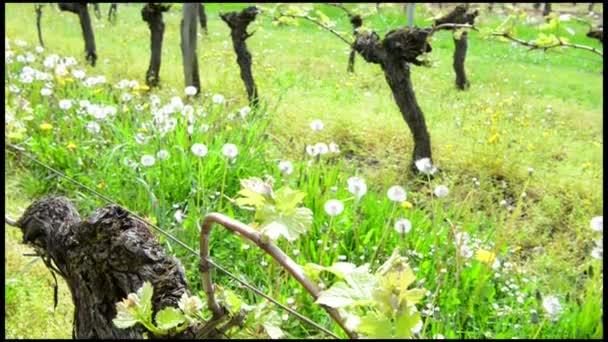 Vine Leaf in spring-Vineyard south west of France, Bordeaux Vine