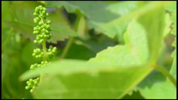 Szőlő-új szőlő és a laprugó