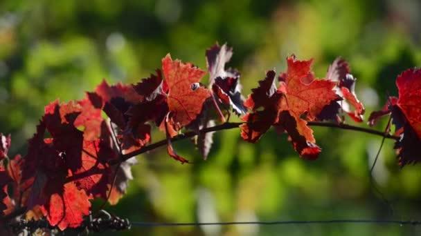 Vine Leaf Autumn-Travelling-Bordeaux Vineyard