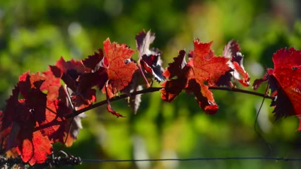 Vine Leaf Autumn-Travelling-Bordeaux Vineyard