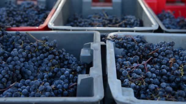 Piros szőlőfürt mezőbe a betakarításkor