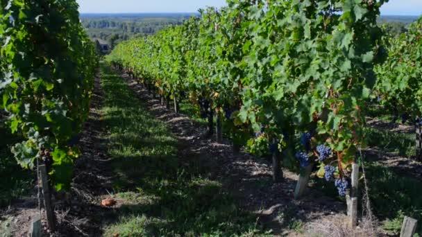 Vinice ve Francii řádky hroznů na víno Bordeaux vinice