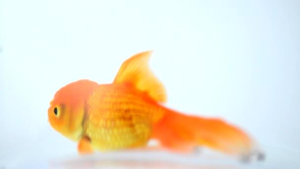 Goldfisch isoliert auf weißem Hintergrund
