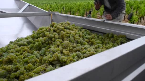 Sauvignon grapes harvesting in Bordeaux vineyard, Time-Lapse