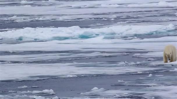 Jegesmedve séta a tengeri jégen, Távoli lövés, Svalbard, Északi-sark expedíció az Északi-sarkra, egészséges férfi jegesmedve