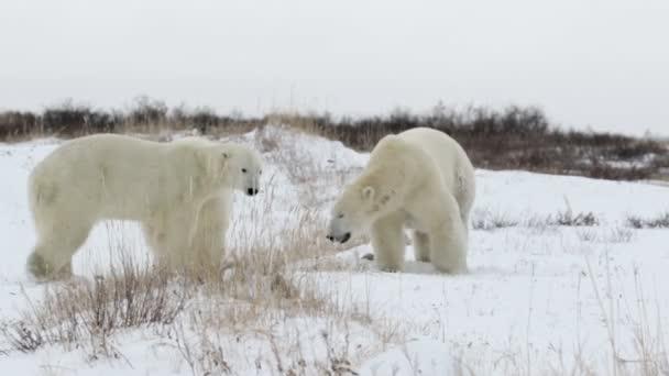 Lední medvědi hraje