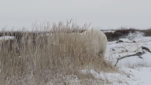 Lední medvěd chůzi