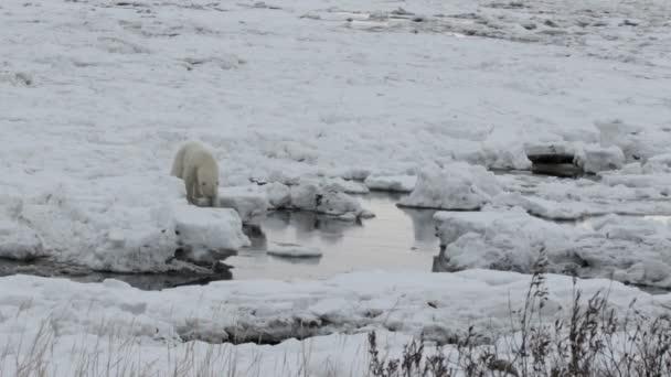 Polar Bear, séta
