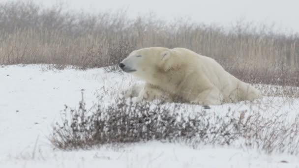 Polar bear hazudik