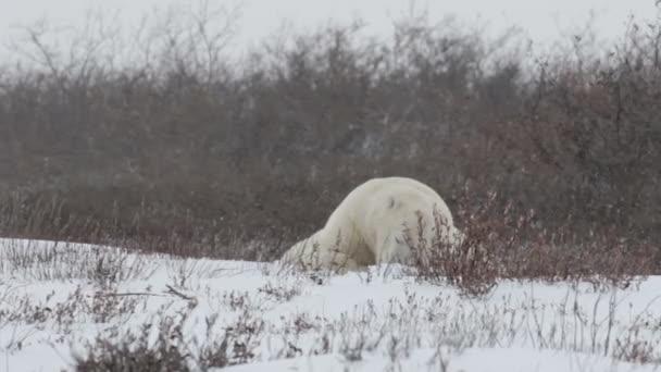 jegesmedve alszik