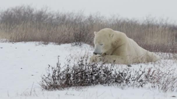 Polar bear eating something