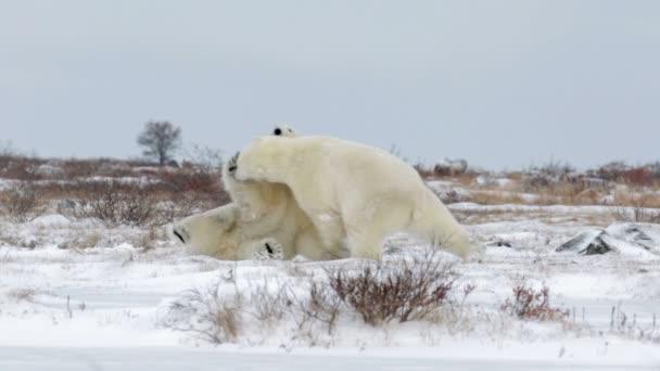 polar bears fighting on snow