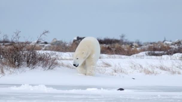 jegesmedvék, sarkvidéki területén