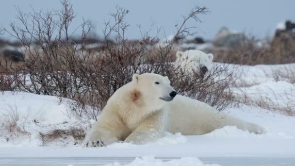 polar bears lying on snow