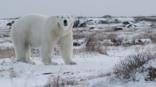 bear standing in arctic landscape