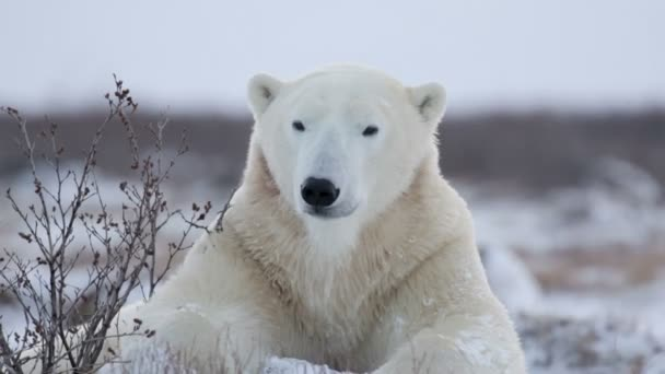 Lední medvěd ležící na sněhu