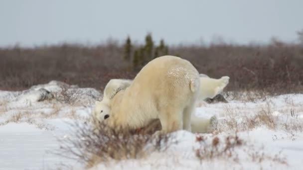 polar bears playing on snow