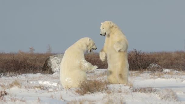 lední medvědi na sněhu