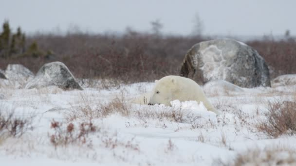 bear looking around in arctic landscape