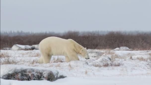 bear walking in arctic landscape