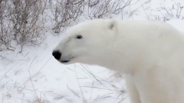bear shakes in arctic field