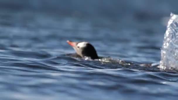 pingvin úszni a vízben