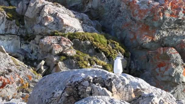 Chinstrap penguin standing on a rock