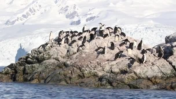 Chinstrap penguins colony