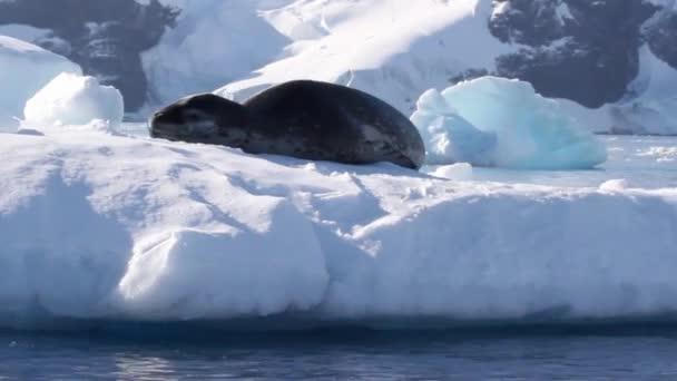 Leopardenrobbe auf einem Eisberg