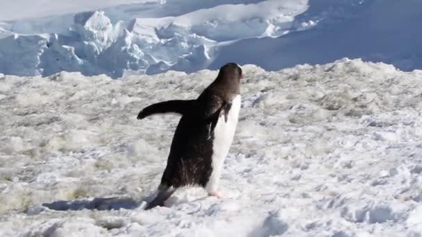 Pingvin sétál a hó