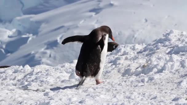 Pinguino di Gentoo che cammina