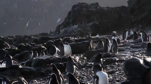 Gruppo della colonia di pinguini