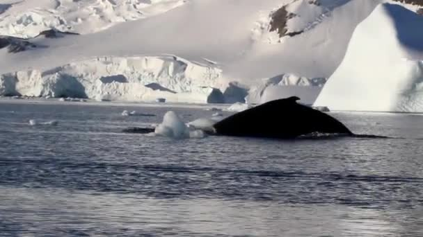 Buckelwal im Wasser