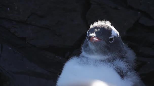 Pinguino di Gentoo sul puntello