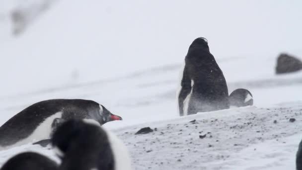 Pinguini di Gentoo nella tempesta
