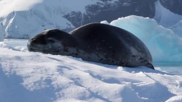 Leopard Seal on an Iceberg