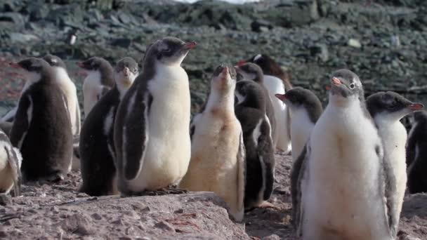 állandó pingvin csibék