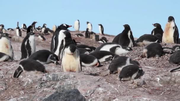Penguins and chicks on rocky shore